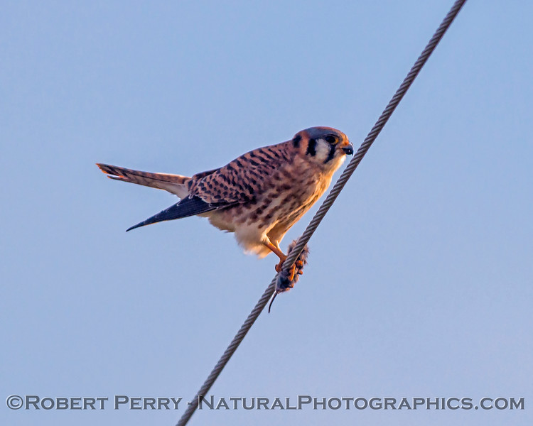 American kestrel feeding on a vole.