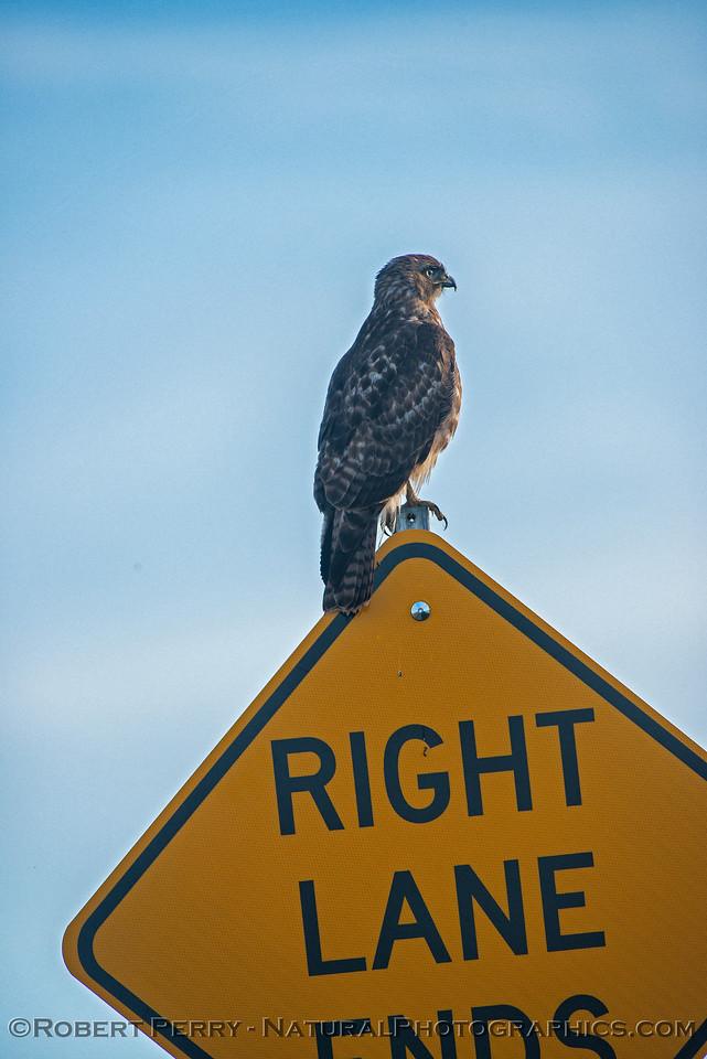 Juvenile red-shouldered hawk on road sign.