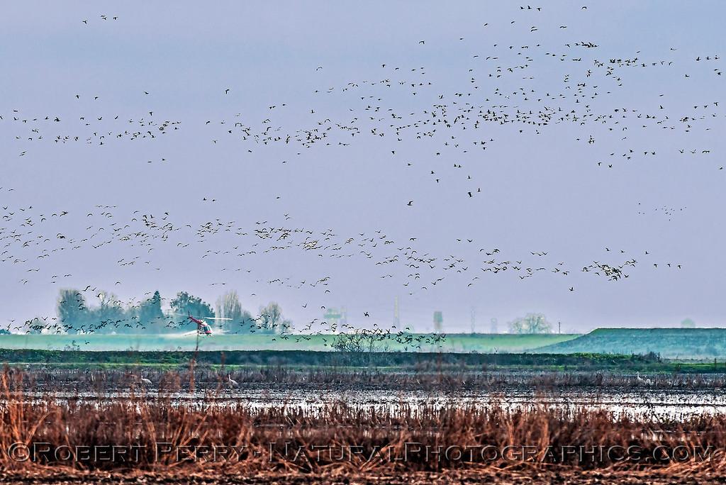 geese in flight & helicopter crop duster 2018 01-23 Woodbridge Rd - Lodi -b-020