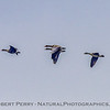 Anser albifons Greater white-fronted geese in flight 2018 01-23 Woodbridge Rd - Lodi --001