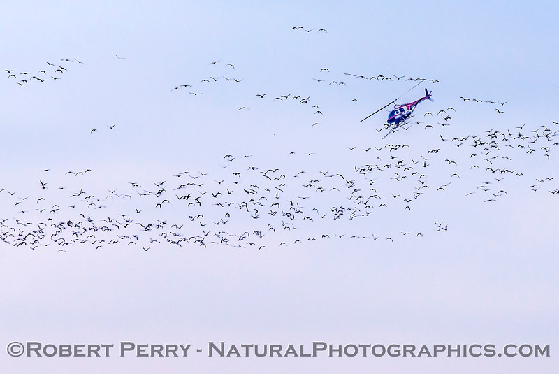 geese in flight & helicopter crop duster 2018 01-23 Woodbridge Rd - Lodi -c-008