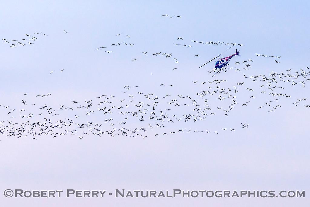 geese in flight & helicopter crop duster 2018 01-23 Woodbridge Rd - Lodi -c-008