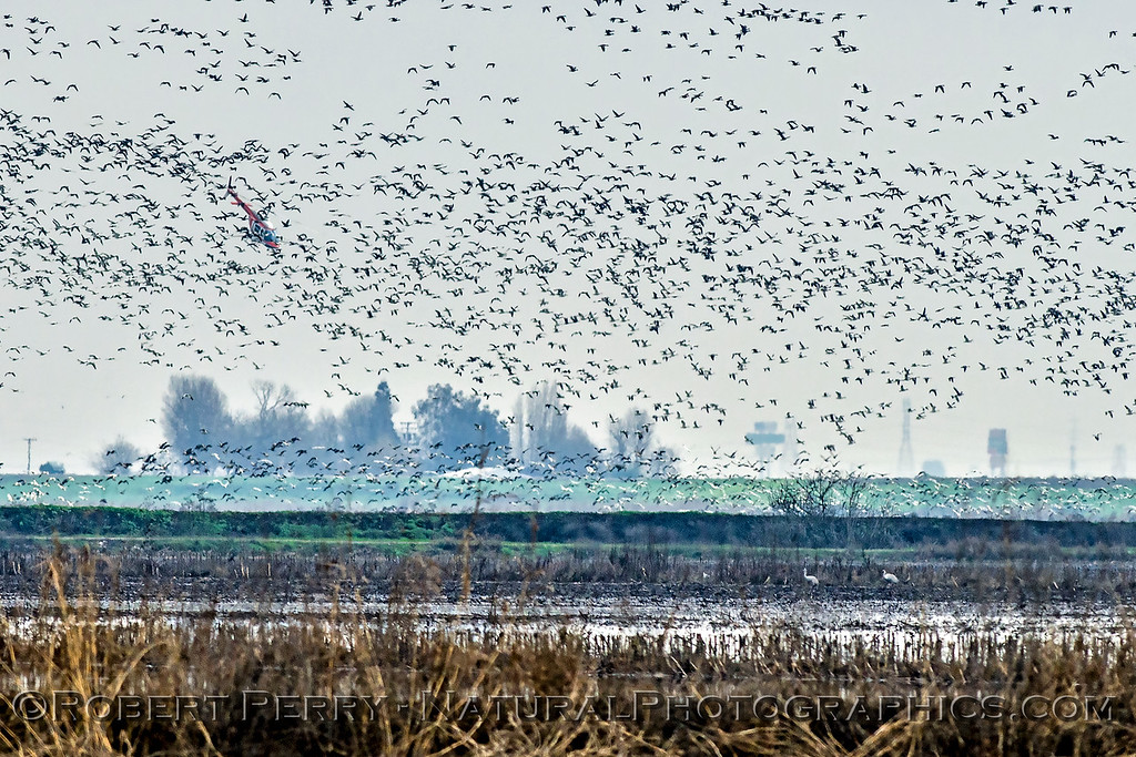 geese in flight & helicopter crop duster 2018 01-23 Woodbridge Rd - Lodi -d-013