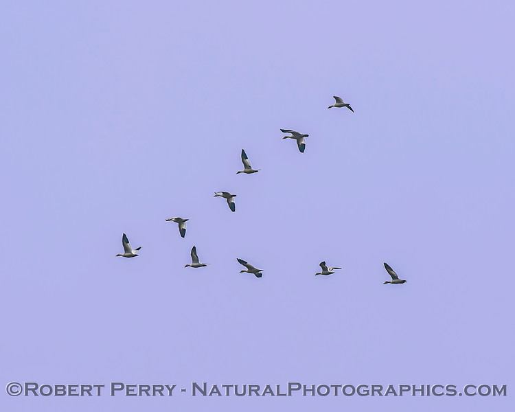 Chen rossii Ross geese in flight v-formation 2018 01-23 Woodbridge Rd - Lodi --004