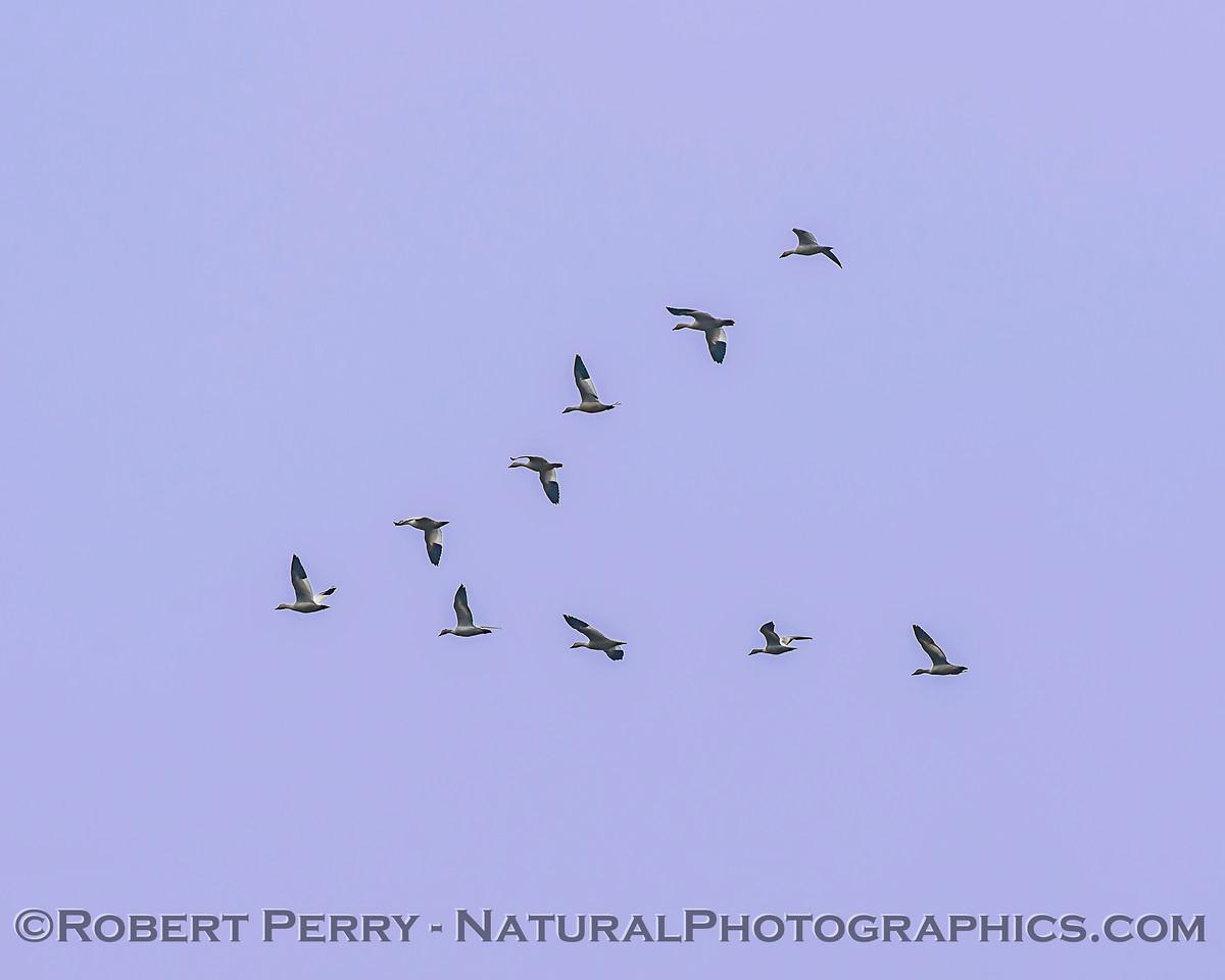 Chen rossii Ross geese in flight v-formation 2018 01-23 Woodbridge Rd - Lodi --004