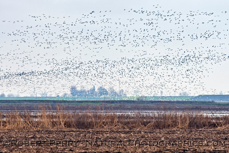 geese in flight 2018 01-23 Woodbridge Rd - Lodi --007