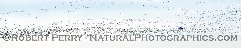 geese in flight & helicopter crop duster 2018 01-23 Woodbridge Rd - Lodi -c-002-PANO