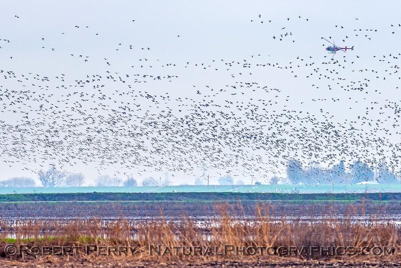 geese in flight & helicopter crop duster 2018 01-23 Woodbridge Rd - Lodi -d-005