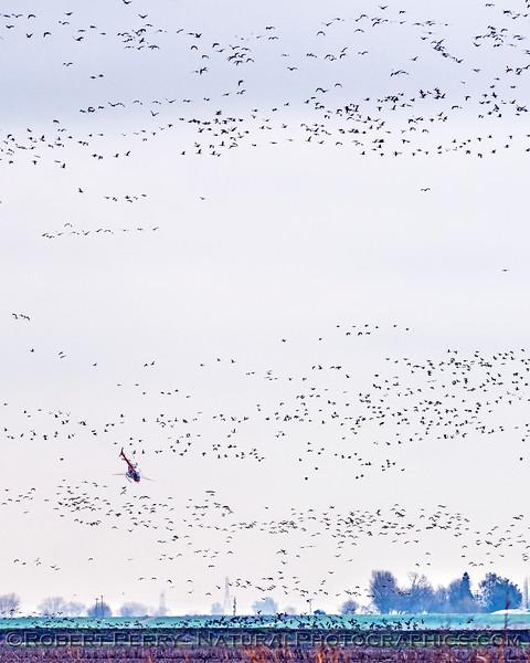 geese in flight & helicopter crop duster 2018 01-23 Woodbridge Rd - Lodi -b-014-VERTICAL