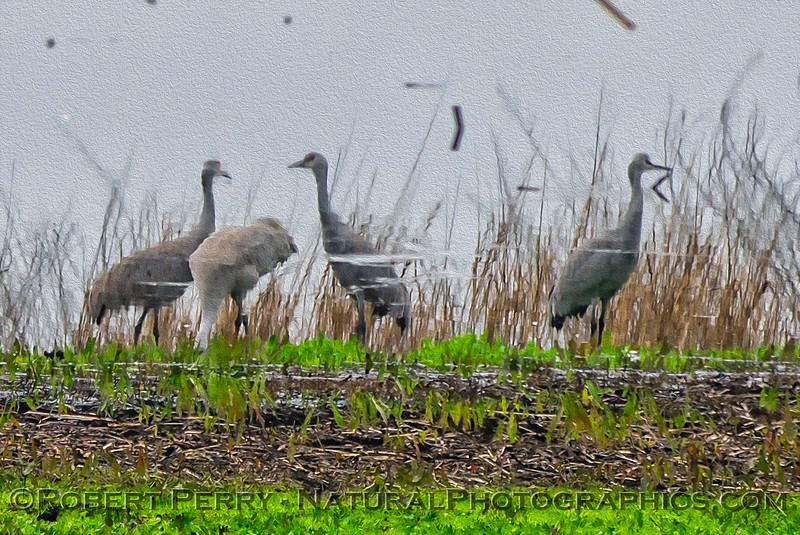 Grus canadensis Sandhill cranes REFLECTIONS 2018 01-23 Woodbridge Rd - Lodi -b-001