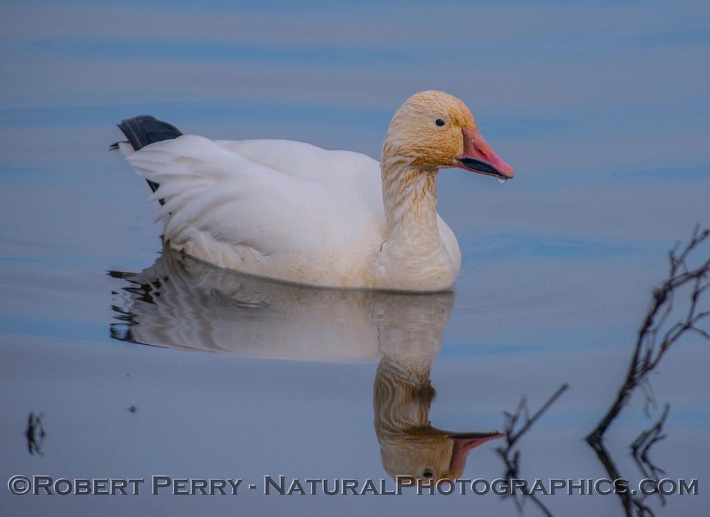 Snow goose.
