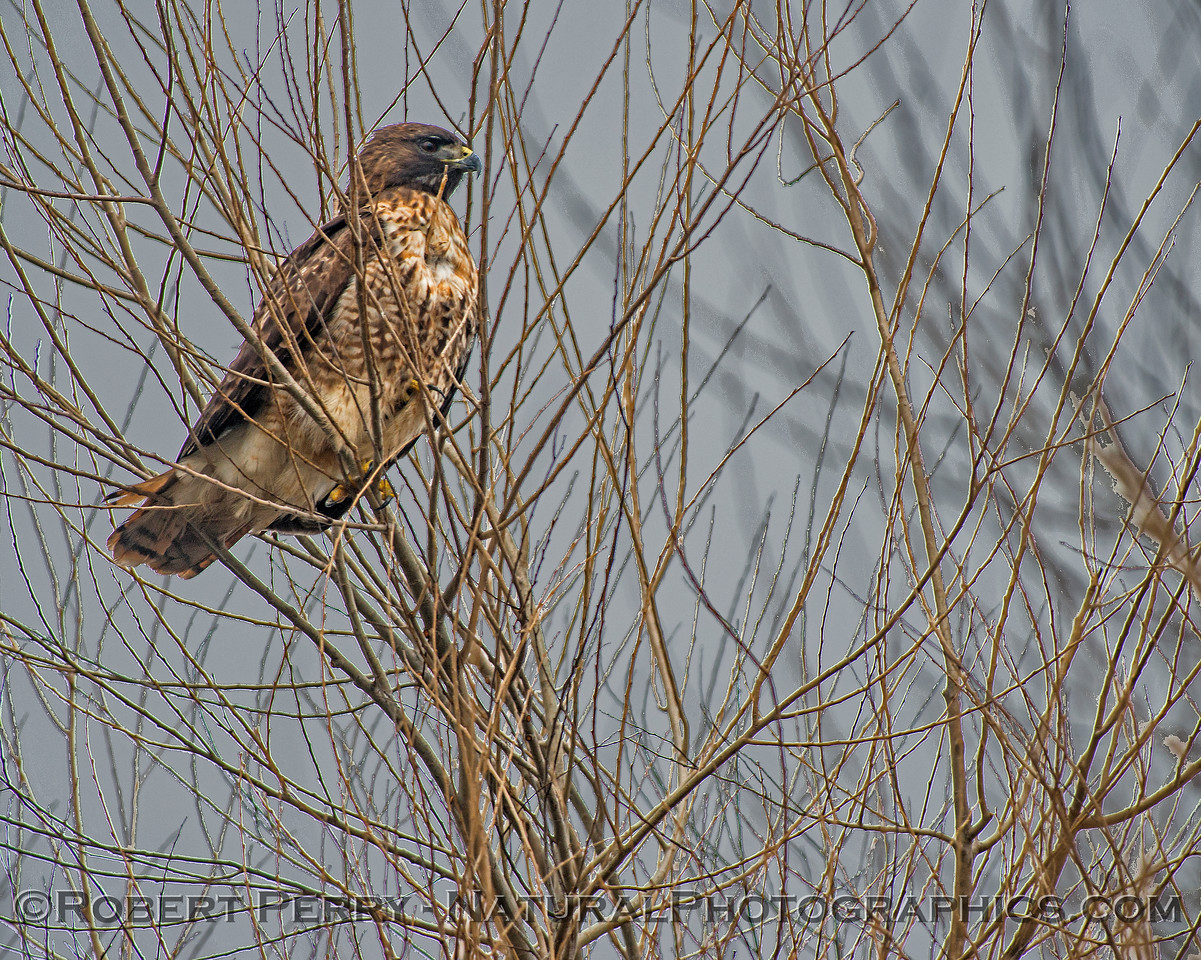 Red-tailed hawk in a tree - it's nictitating membrane is closed.
