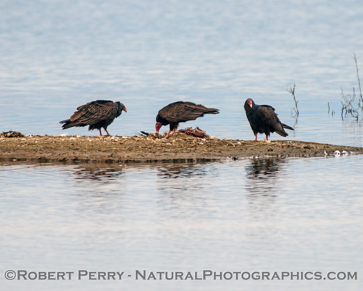 Turkey vultures feed on a large dead bird (goose?).