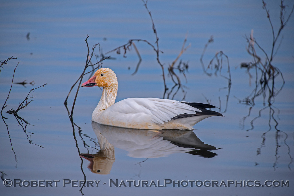 Snow goose - reflections.