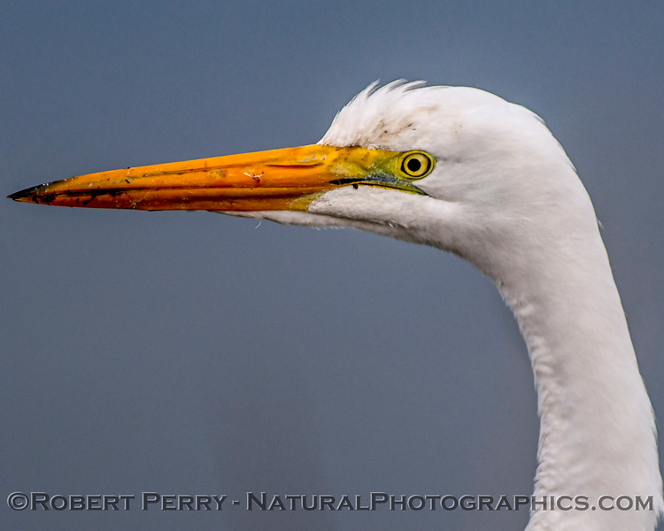 Great (white) egret - head profile fun.