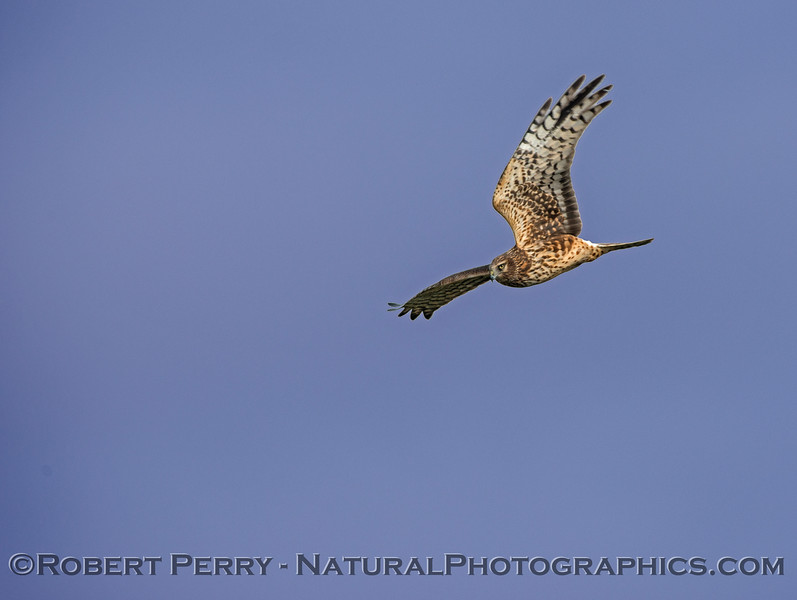 Circus cyaneus Northern Harrier in flight 2018 01-26 Sacramento NWR--006