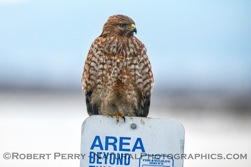 Juvenile red-shouldered hawk - posing.
