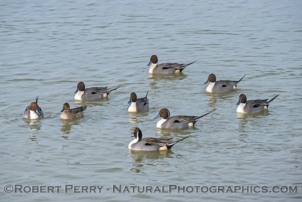 A single Northern pintail female is surrounded by males that were showing-off their stuff.