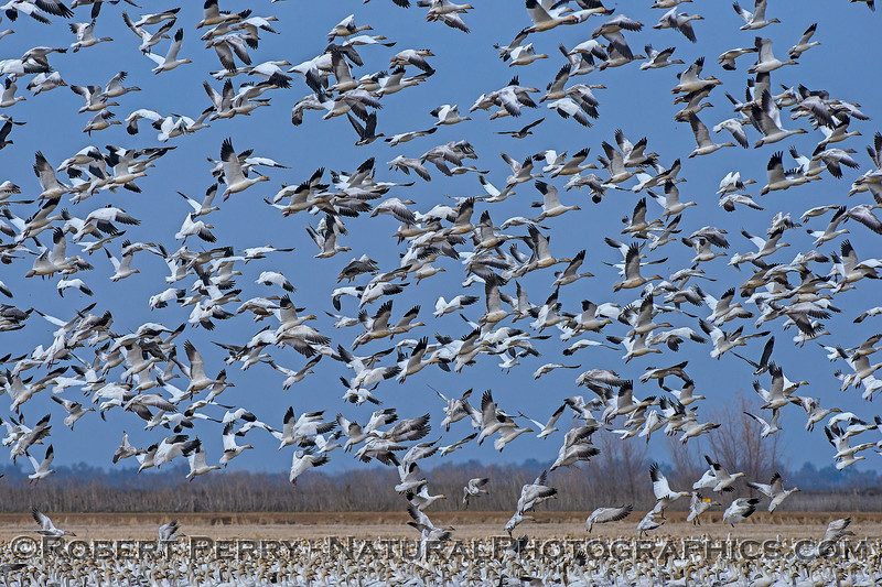Snow geese prepare to settle on a shallow pond.