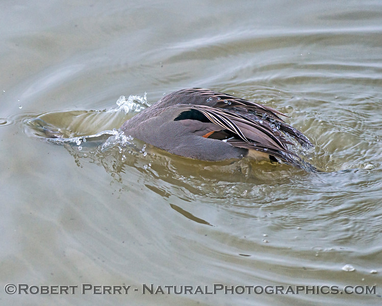 Northern pintail bathing.