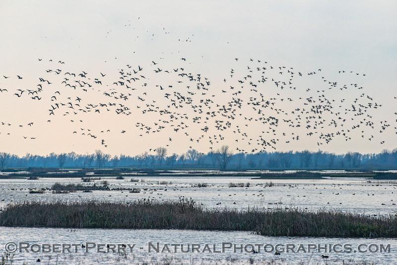 Ducks, geese, wetlands.