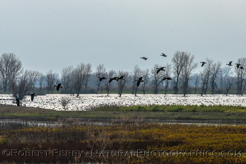 Wetlands scene with Canada geese landing.