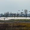 Wetlands scene with Canada geese landing.