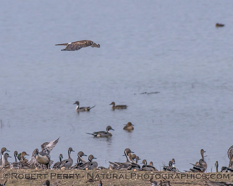 A female northern harrier strafes the pintails.