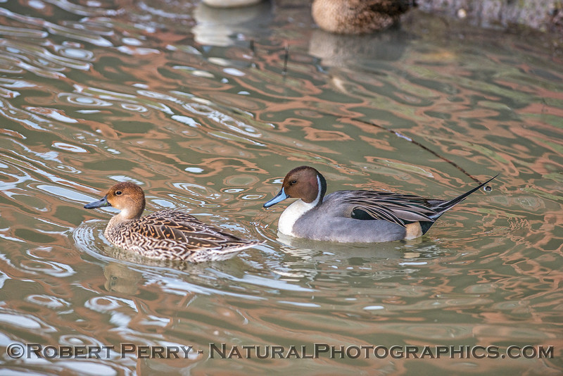 Mrs. and Mr. Northern pintail.
