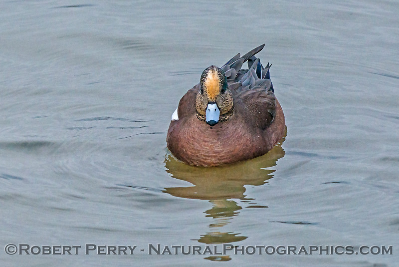 Face to face with an American wigeon.