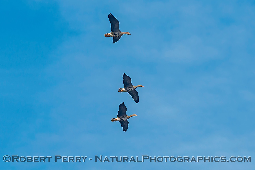 Anser albifrons Greater white-fronted geese in flight 2018 02-01 Colusa NWR--005