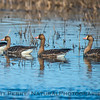 Anser albifrons Greater white-fronted geese in pond 2018 02-01 Colusa NWR--004