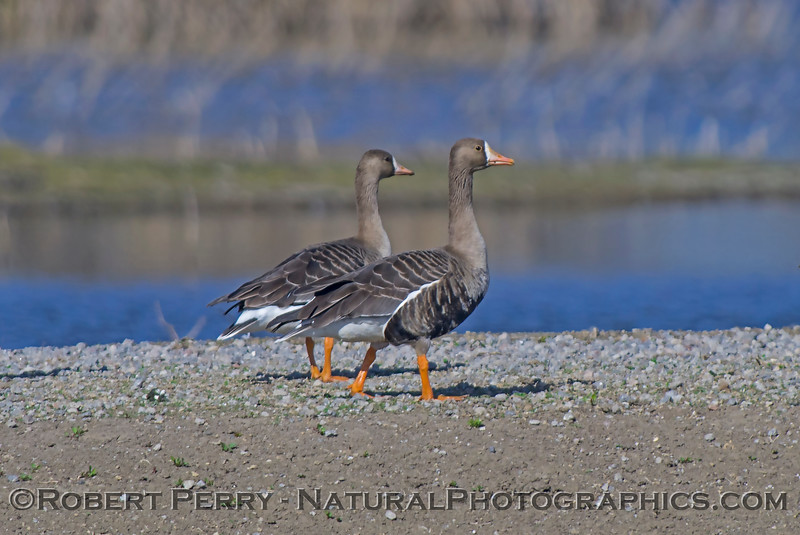 Anser albifrons Greater white-fronted geese on sand bar 2018 02-01 Colusa NWR--005