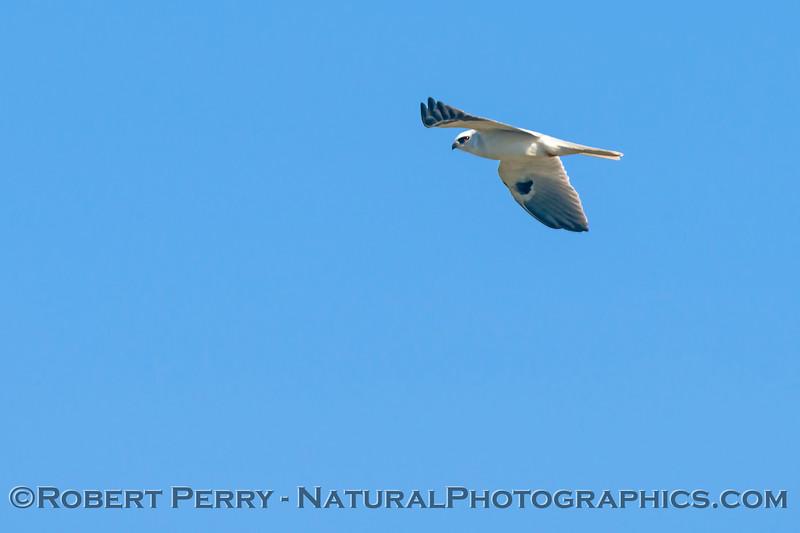Elanus leucurus White-tailed kite 2018 02-03 Yolo & ByPass--024