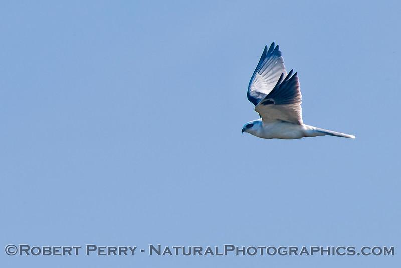 Elanus leucurus White-tailed kite 2018 02-03 Yolo & ByPass--005