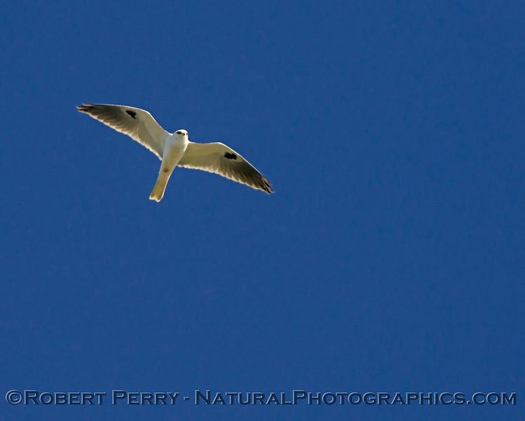 Elanus leucurus White-tailed kite 2018 02-03 Yolo & ByPass--171