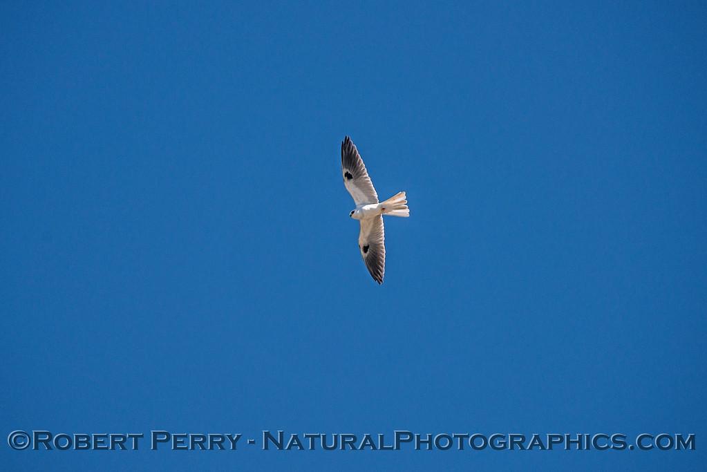 Elanus leucurus White-tailed kite 2018 02-03 Yolo & ByPass--162