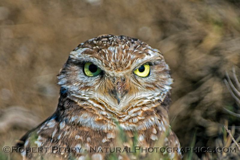 Athene canicularia 2018 02-03 Yolo--027