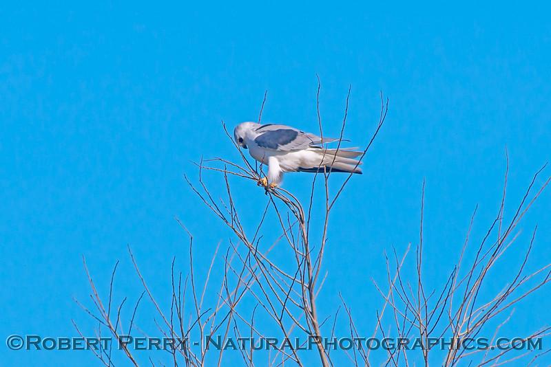 Elanus leucurus White-tailed kite 2018 02-03 Yolo & ByPass--031