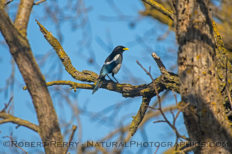 Pica nuttalli Yellow-billed magpie 2018 02-03 Davis--005