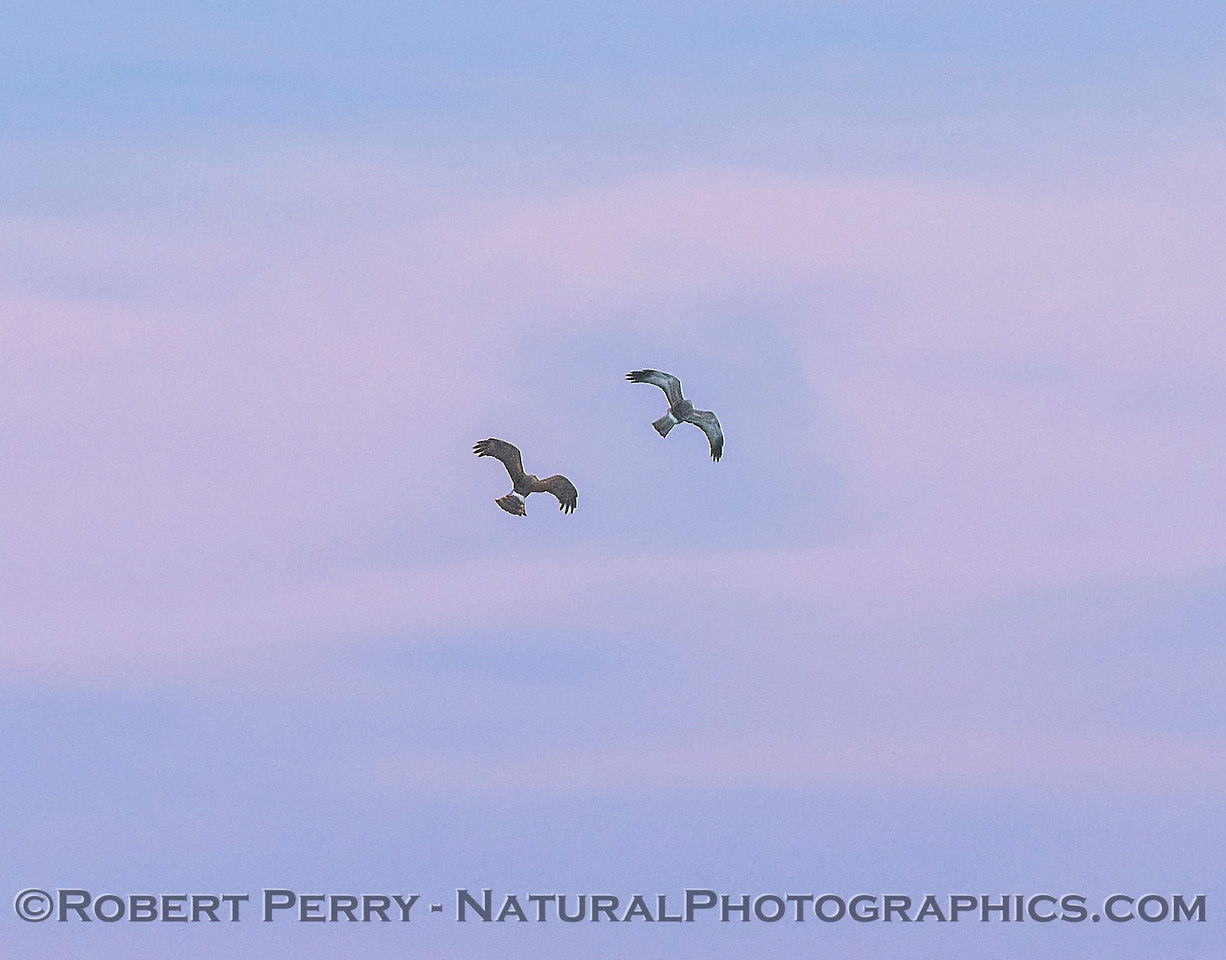 Male (right) and female (left) harrier action