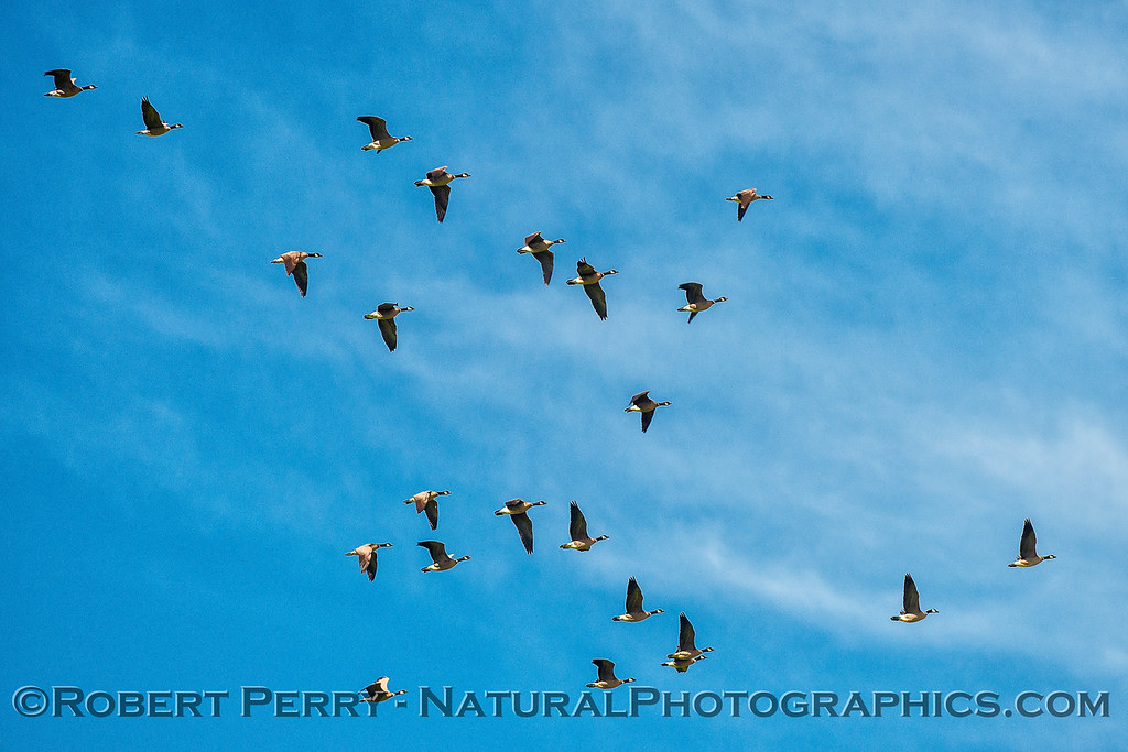 Part of a large flock of Canada geese.
