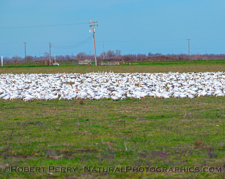 River of snow geese