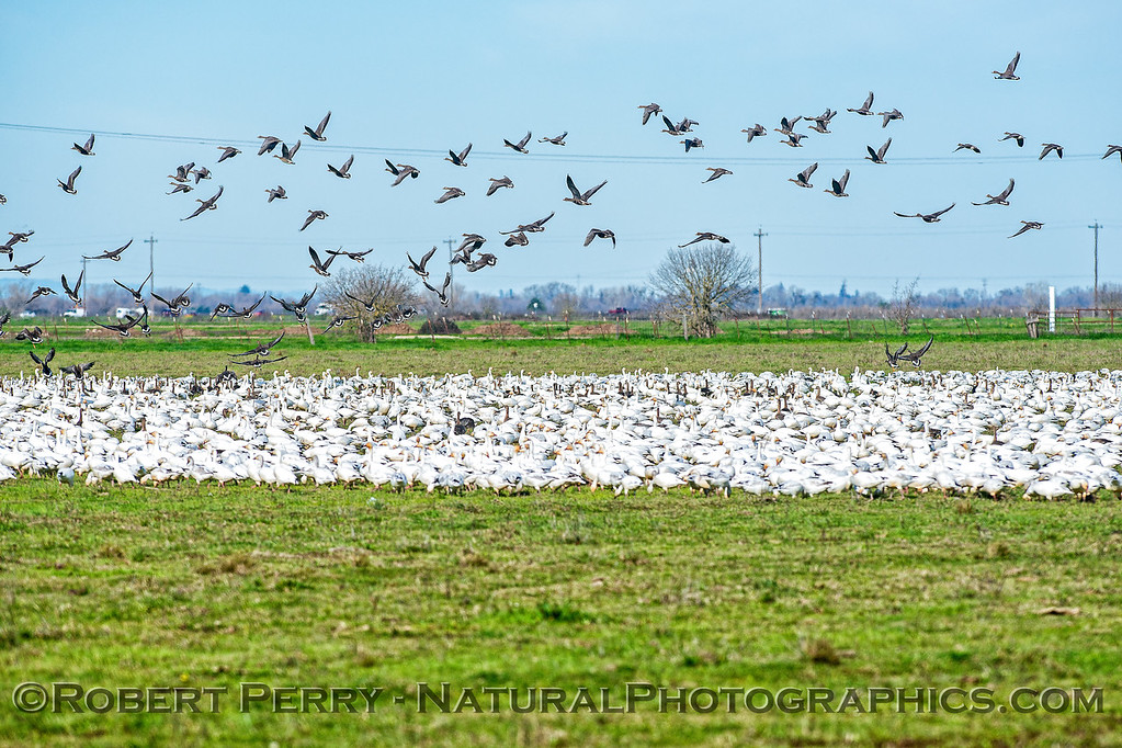 Snow geese on the field with Canada geese taking off