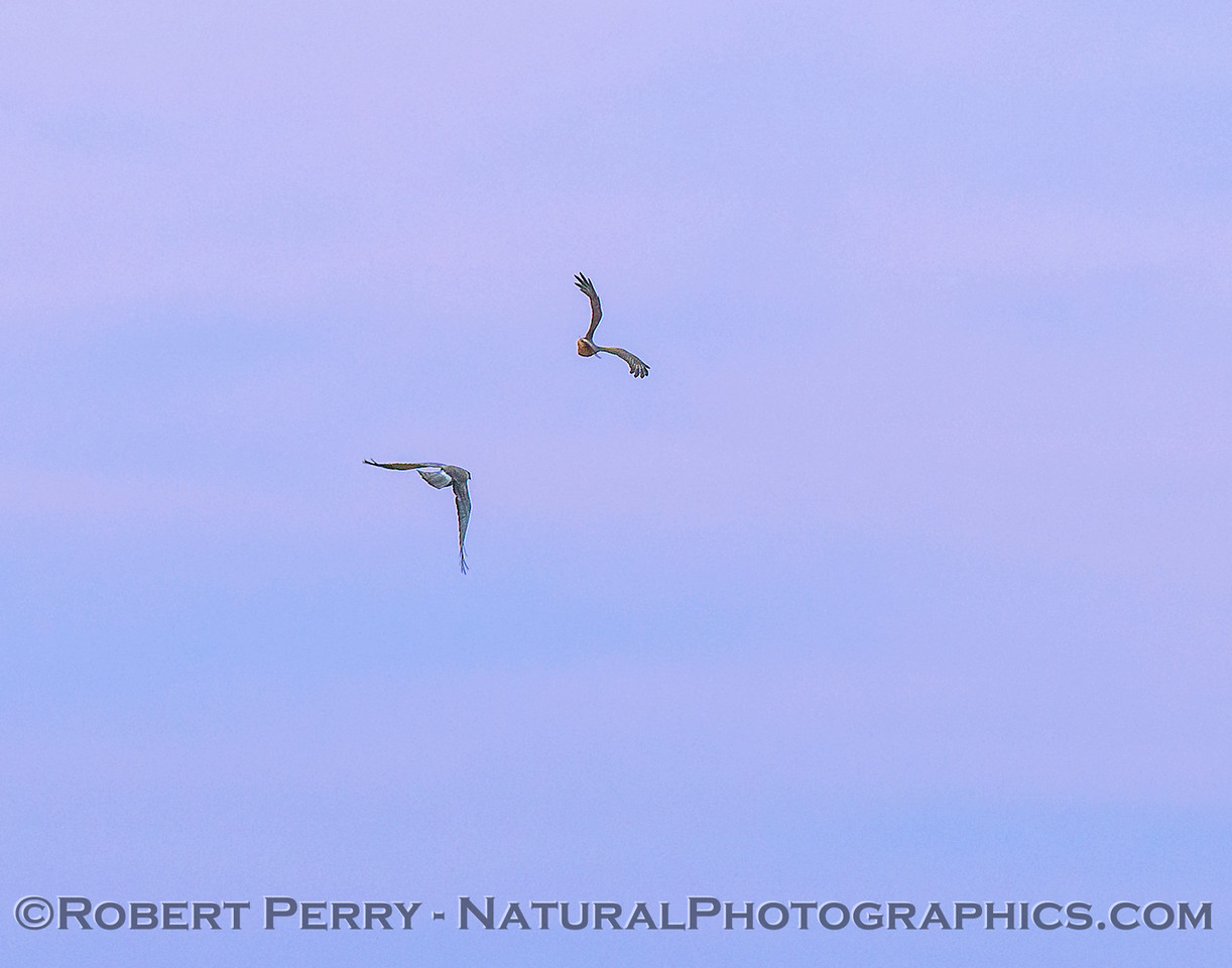 Male and female harrier action