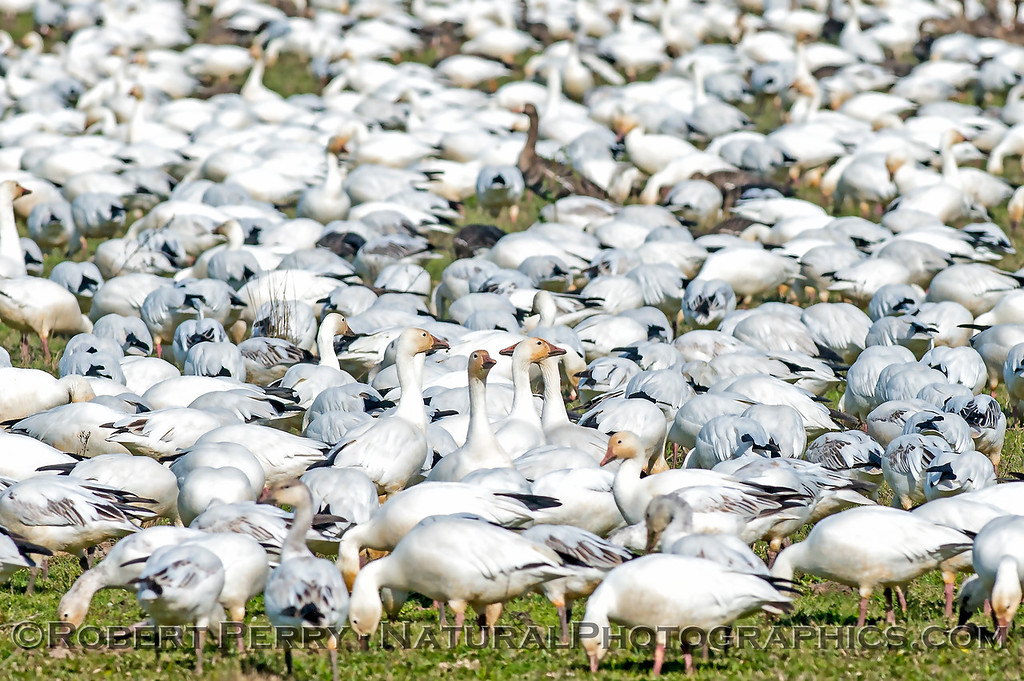 Snow geese close up