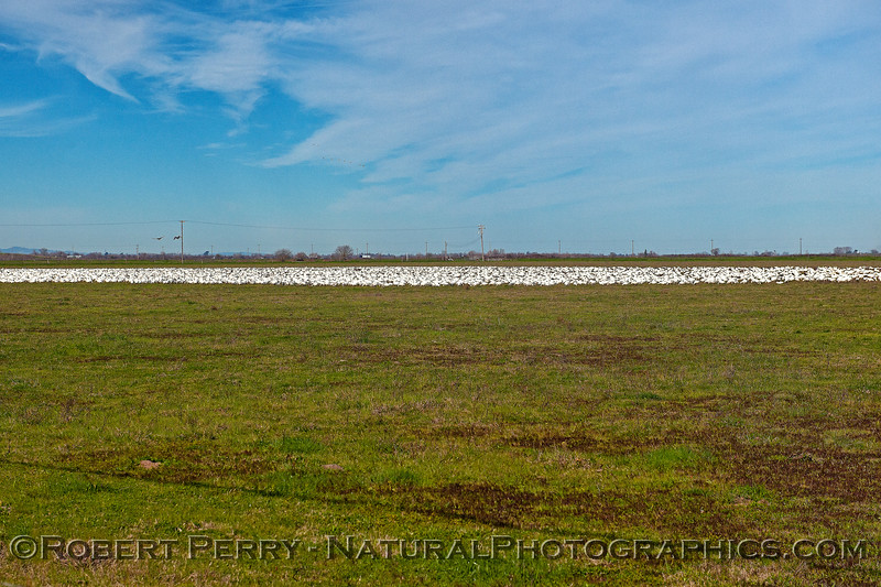 Lake of snow geese
