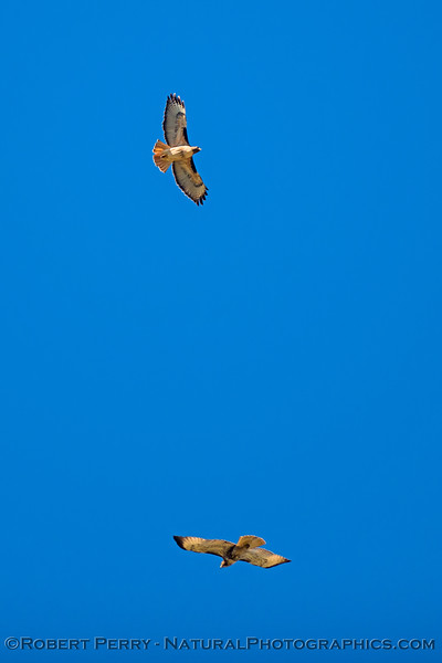 A pair of red-tailed hawks ride tha same thermal updraft