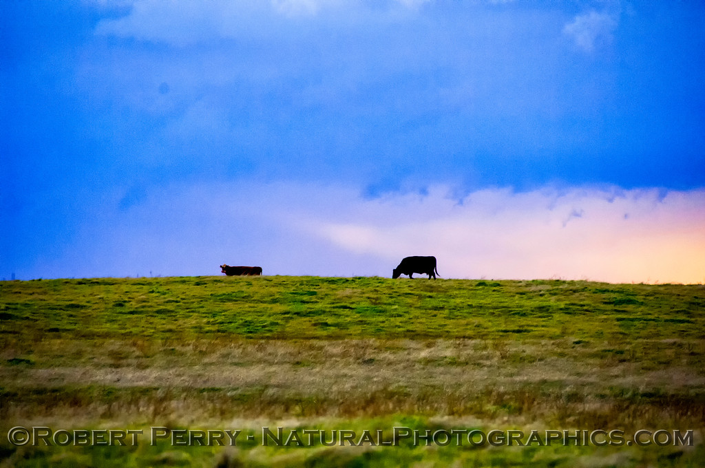 Cattle and approaching storm.