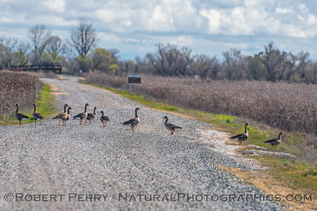 Why did the greater white-fronted geese cross the road?